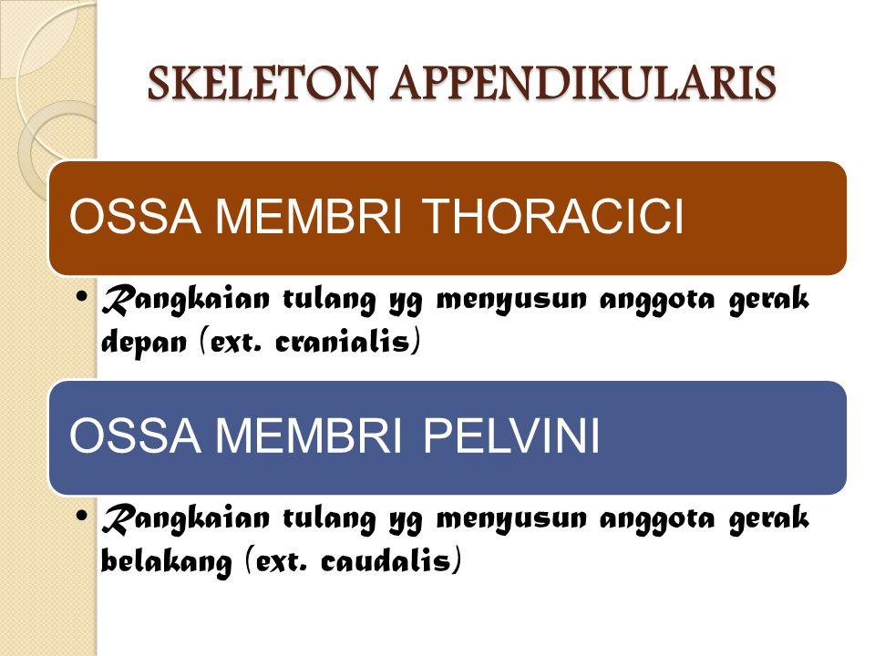 SKELETON APPENDIKULARIS OSSA MEMBRI THORACICI Rangkaian tulang yg menyusun anggota gerak depan (ext. cranialis) OSSA MEMBRI PELVINI Rangkaian tulang y