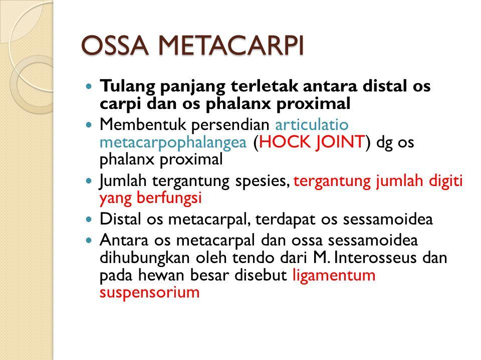 OSSA METACARPI Tulang panjang terletak antara distal os carpi dan os phalanx proximal Membentuk persendian articulatio metacarpophalangea (HOCK JOINT) dg os phalanx proximal Jumlah tergantung spesies, tergantung jumlah digiti yang berfungsi Distal os metacarpal, terdapat os sessamoidea Antara os metacarpal dan ossa sessamoidea dihubungkan oleh tendo dari M.