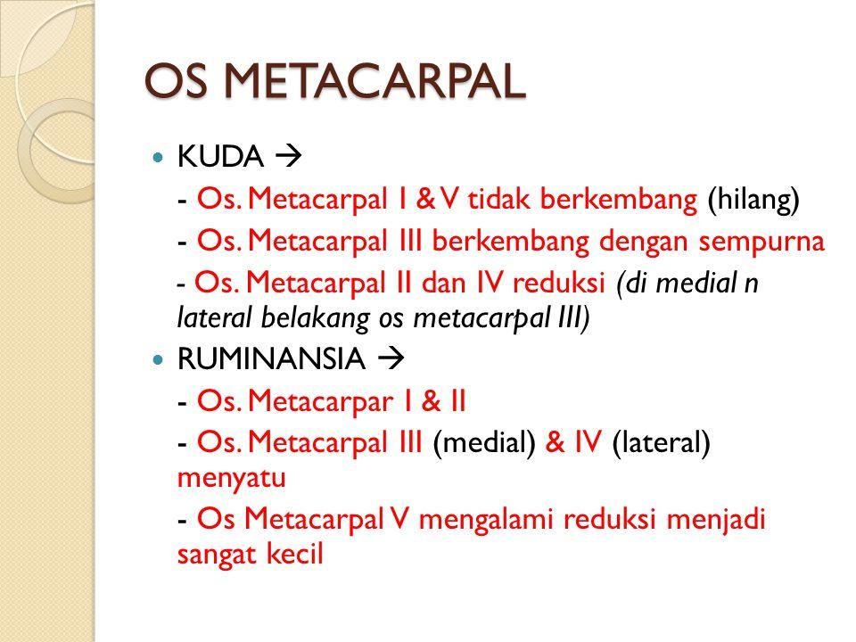 OS METACARPAL KUDA  - Os. Metacarpal I & V tidak berkembang (hilang) - Os. Metacarpal III berkembang dengan sempurna - Os. Metacarpal II dan IV reduk