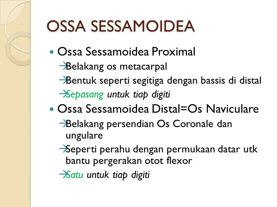 OSSA SESSAMOIDEA Ossa Sessamoidea Proximal  Belakang os metacarpal  Bentuk seperti segitiga dengan bassis di distal  Sepasang untuk tiap digiti Oss