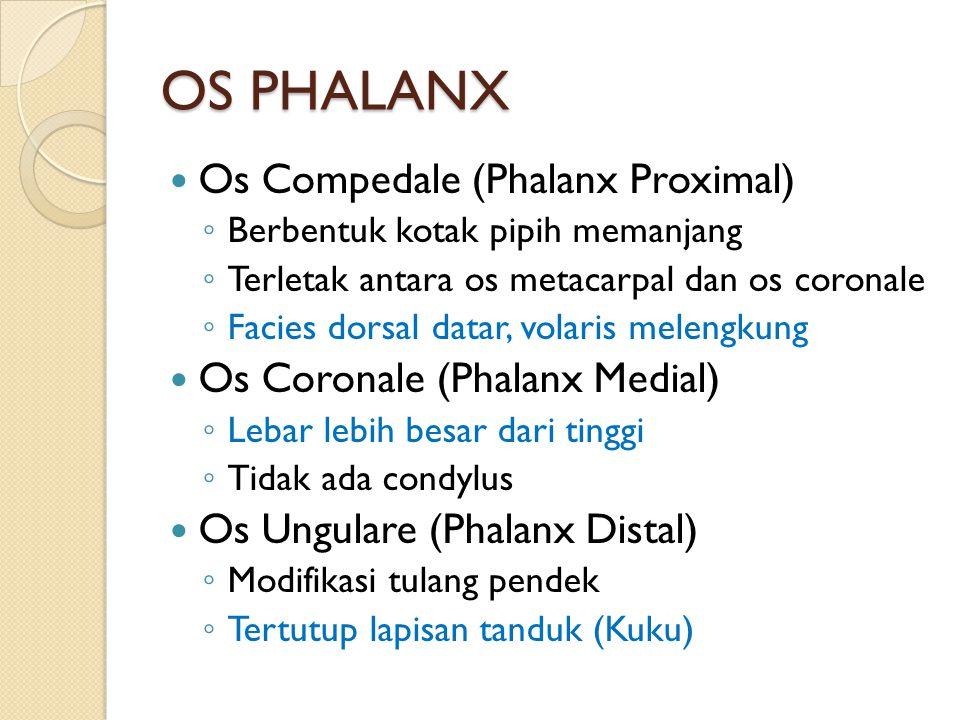OS PHALANX Os Compedale (Phalanx Proximal) ◦ Berbentuk kotak pipih memanjang ◦ Terletak antara os metacarpal dan os coronale ◦ Facies dorsal datar, volaris melengkung Os Coronale (Phalanx Medial) ◦ Lebar lebih besar dari tinggi ◦ Tidak ada condylus Os Ungulare (Phalanx Distal) ◦ Modifikasi tulang pendek ◦ Tertutup lapisan tanduk (Kuku)