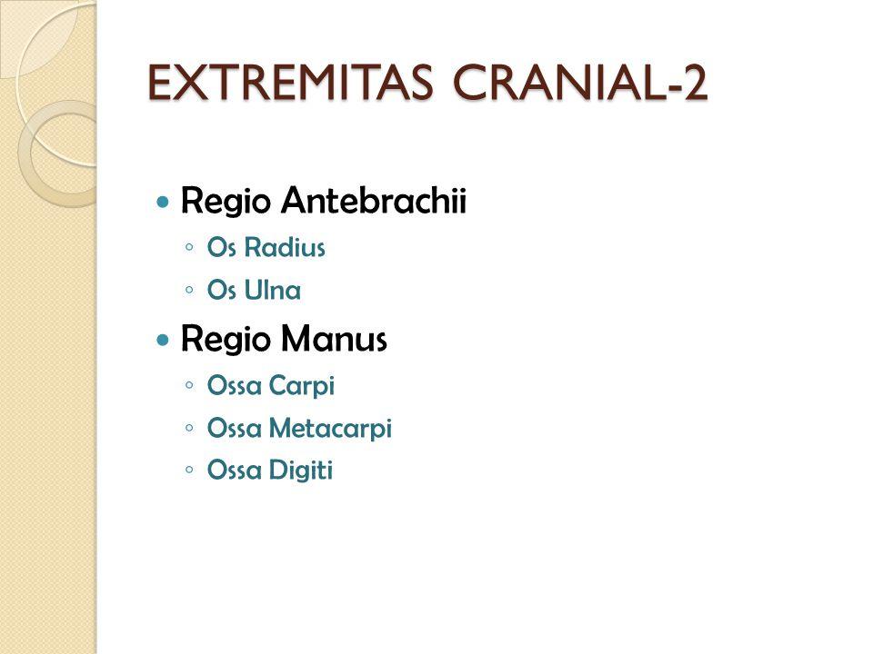 EXTREMITAS CRANIAL-2 Regio Antebrachii ◦ Os Radius ◦ Os Ulna Regio Manus ◦ Ossa Carpi ◦ Ossa Metacarpi ◦ Ossa Digiti