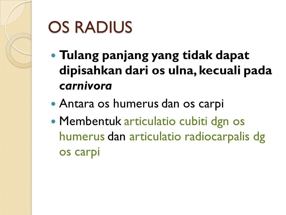 OS RADIUS Tulang panjang yang tidak dapat dipisahkan dari os ulna, kecuali pada carnivora Antara os humerus dan os carpi Membentuk articulatio cubiti