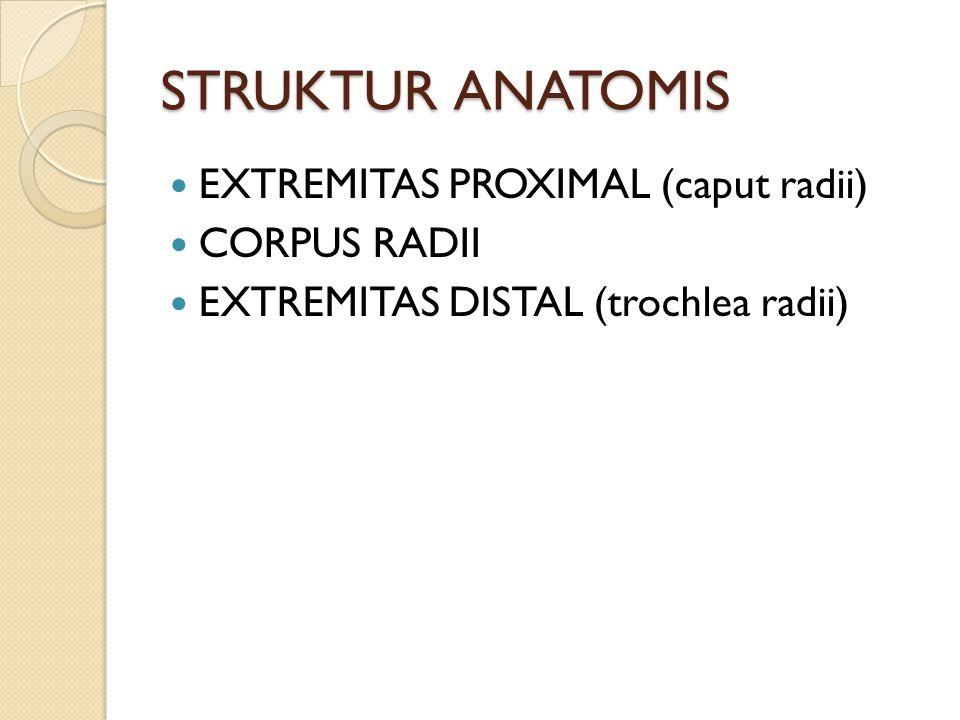 STRUKTUR ANATOMIS EXTREMITAS PROXIMAL (caput radii) CORPUS RADII EXTREMITAS DISTAL (trochlea radii)