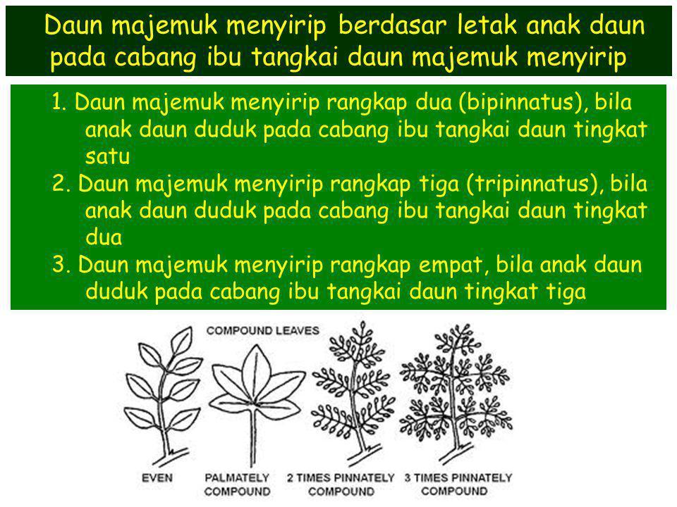 1. Daun majemuk menyirip rangkap dua (bipinnatus), bila anak daun duduk pada cabang ibu tangkai daun tingkat satu 2. Daun majemuk menyirip rangkap tig