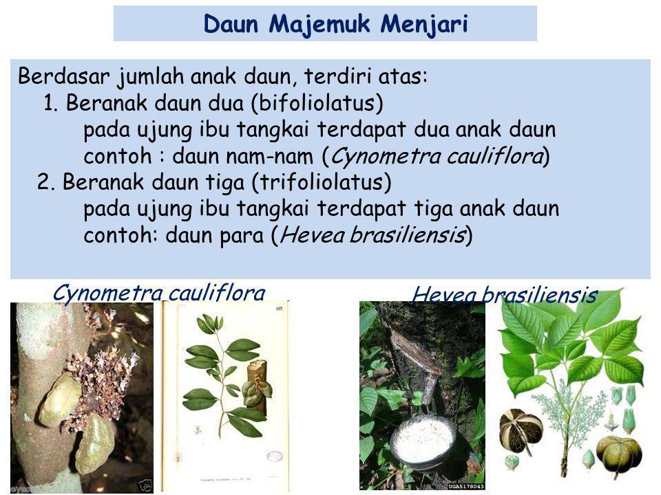 Daun Majemuk Menjari Berdasar jumlah anak daun, terdiri atas: 1. Beranak daun dua (bifoliolatus) pada ujung ibu tangkai terdapat dua anak daun contoh