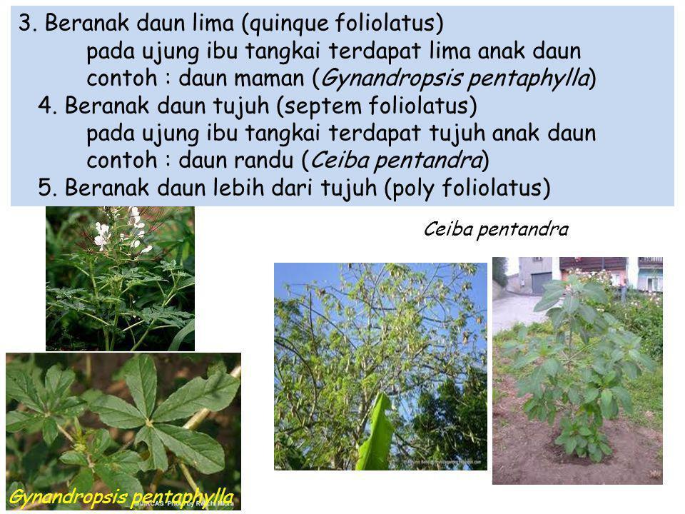 3. Beranak daun lima (quinque foliolatus) pada ujung ibu tangkai terdapat lima anak daun contoh : daun maman (Gynandropsis pentaphylla) 4. Beranak dau