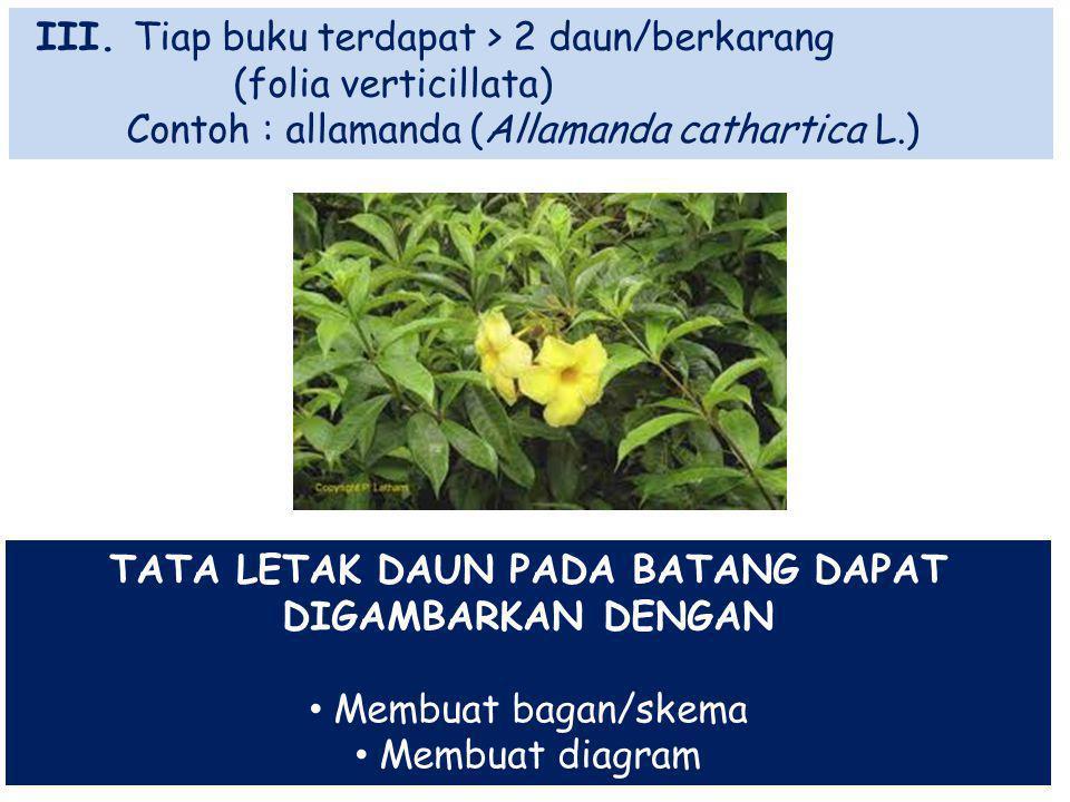 III. Tiap buku terdapat > 2 daun/berkarang (folia verticillata) Contoh : allamanda (Allamanda cathartica L.) TATA LETAK DAUN PADA BATANG DAPAT DIGAMBA