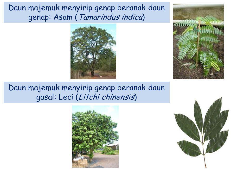 Daun majemuk menyirip genap beranak daun genap: Asam (Tamarindus indica) Daun majemuk menyirip genap beranak daun gasal: Leci (Litchi chinensis)