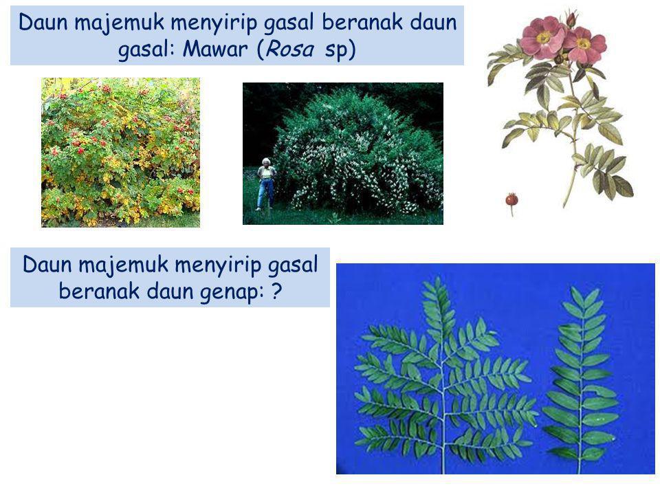 Daun majemuk menyirip gasal beranak daun gasal: Mawar (Rosa sp) Daun majemuk menyirip gasal beranak daun genap: ?