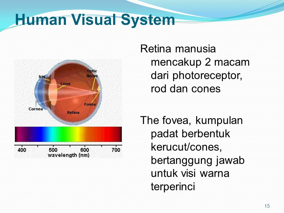 15 Human Visual System Retina manusia mencakup 2 macam dari photoreceptor, rod dan cones The fovea, kumpulan padat berbentuk kerucut/cones, bertanggung jawab untuk visi warna terperinci