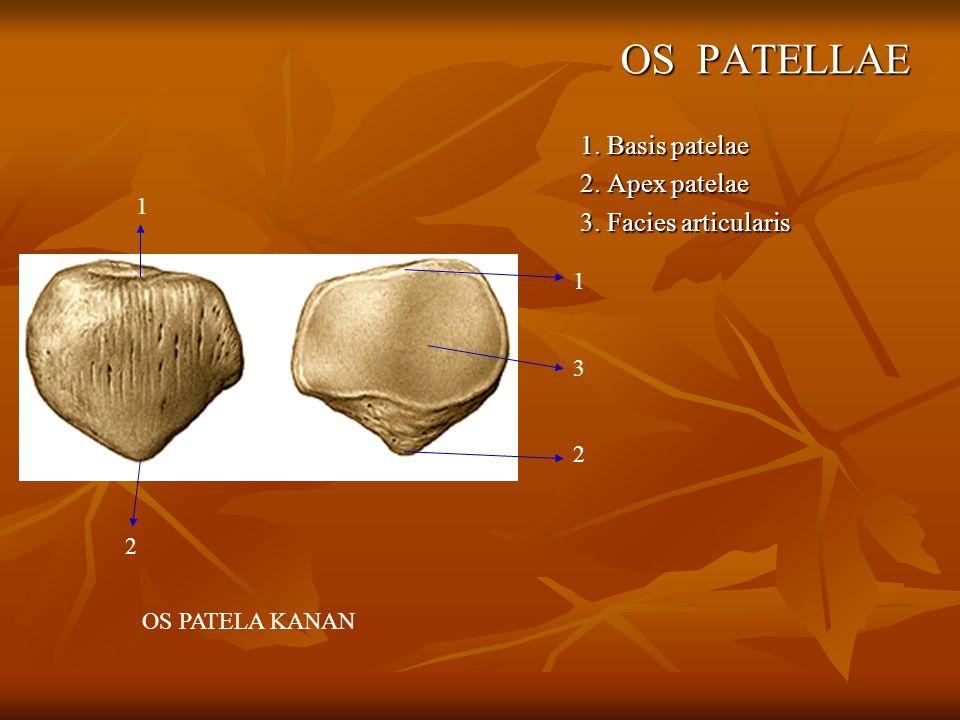 OS PATELLAE 1. Basis patelae 2. Apex patelae 3. Facies articularis OS PATELA KANAN 132132 1 2