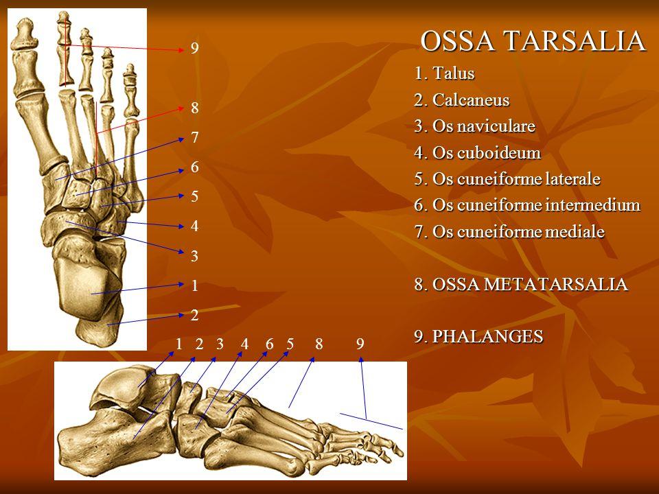 OSSA TARSALIA 1. Talus 2. Calcaneus 3. Os naviculare 4. Os cuboideum 5. Os cuneiforme laterale 6. Os cuneiforme intermedium 7. Os cuneiforme mediale 8
