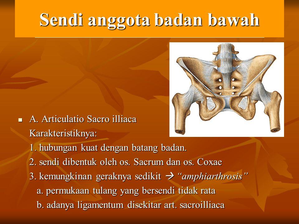 Sendi anggota badan bawah A. Articulatio Sacro illiaca A. Articulatio Sacro illiacaKarakteristiknya: 1. hubungan kuat dengan batang badan. 2. sendi di