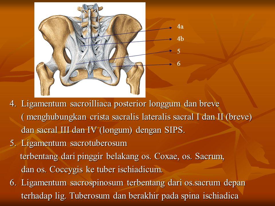 4. Ligamentum sacroilliaca posterior longgum dan breve ( menghubungkan crista sacralis lateralis sacral I dan II (breve) ( menghubungkan crista sacral