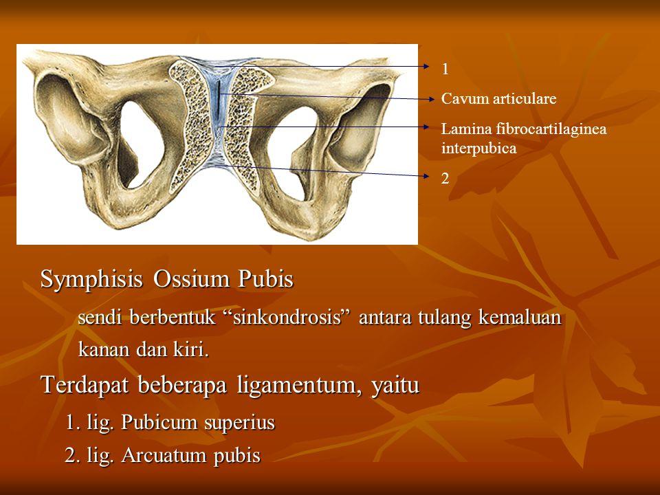 """Symphisis Ossium Pubis sendi berbentuk """"sinkondrosis"""" antara tulang kemaluan sendi berbentuk """"sinkondrosis"""" antara tulang kemaluan kanan dan kiri. kan"""