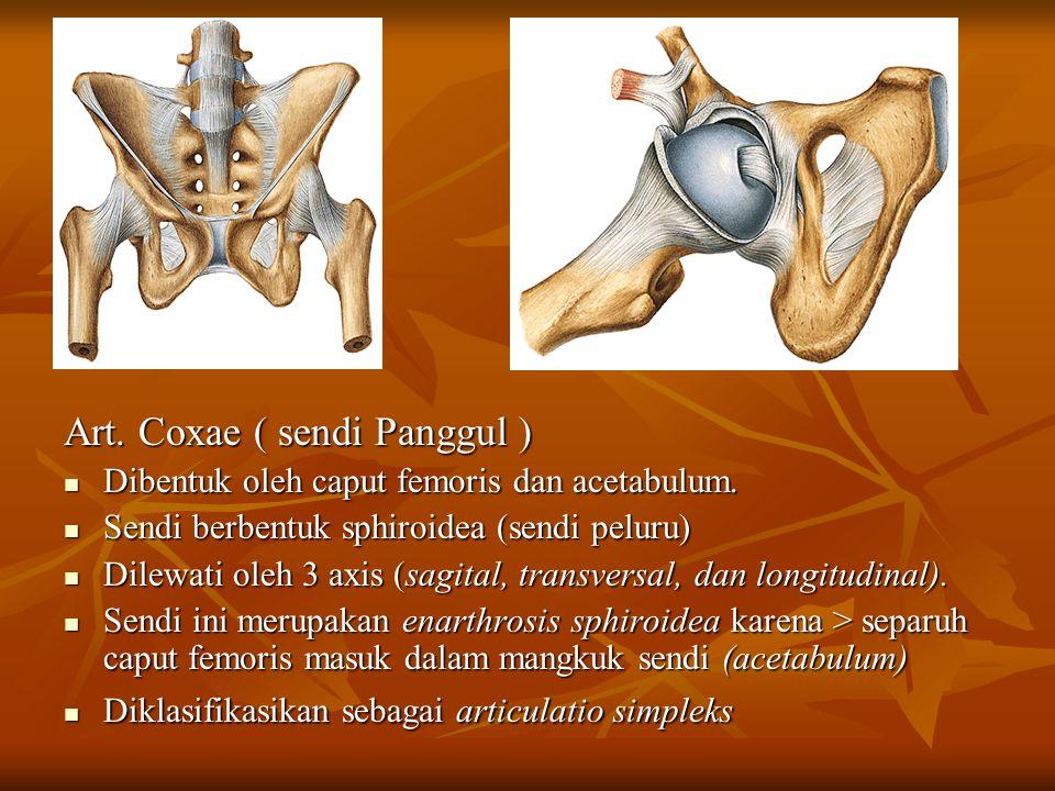 Art. Coxae ( sendi Panggul ) Dibentuk oleh caput femoris dan acetabulum. Dibentuk oleh caput femoris dan acetabulum. Sendi berbentuk sphiroidea (sendi