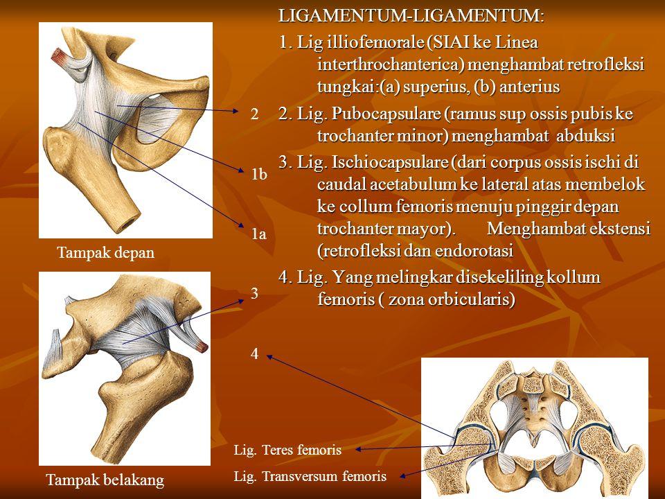LIGAMENTUM-LIGAMENTUM: 1. Lig illiofemorale (SIAI ke Linea interthrochanterica) menghambat retrofleksi tungkai:(a) superius, (b) anterius 2. Lig. Pubo