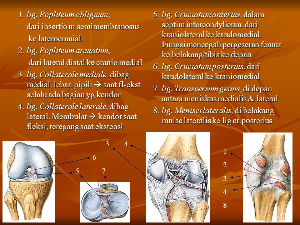 1. lig. Popliteum obliguum, dari insertio m semimembranosus dari insertio m semimembranosus ke laterocranial. ke laterocranial. 2. lig. Popliteum arcu
