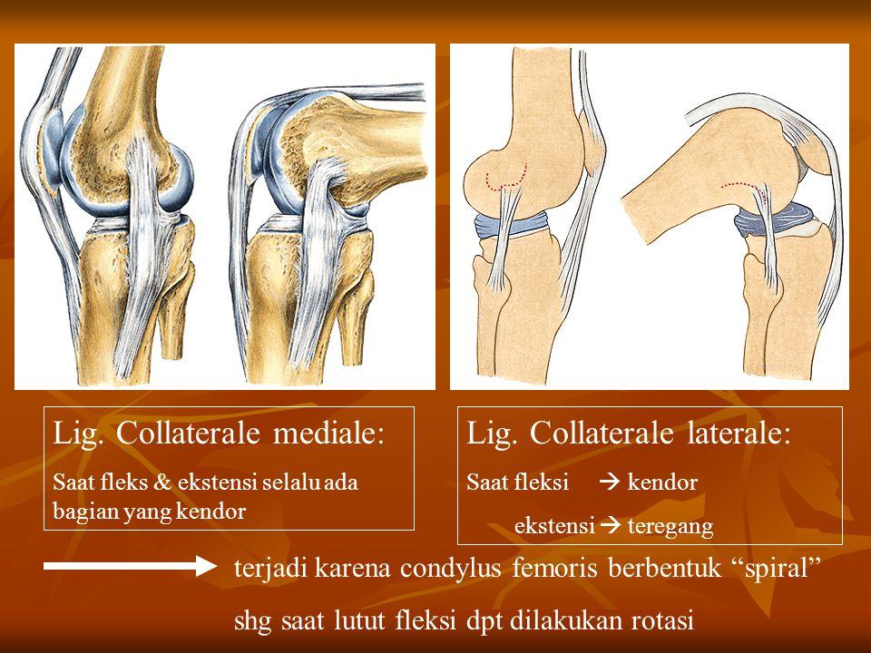 Lig. Collaterale mediale: Saat fleks & ekstensi selalu ada bagian yang kendor Lig. Collaterale laterale: Saat fleksi  kendor ekstensi  teregang terj