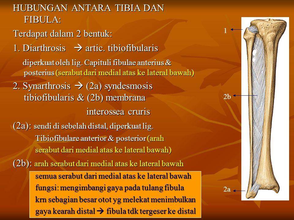 HUBUNGAN ANTARA TIBIA DAN FIBULA: Terdapat dalam 2 bentuk: 1. Diarthrosis  artic. tibiofibularis diperkuat oleh lig. Capituli fibulae anterius & post