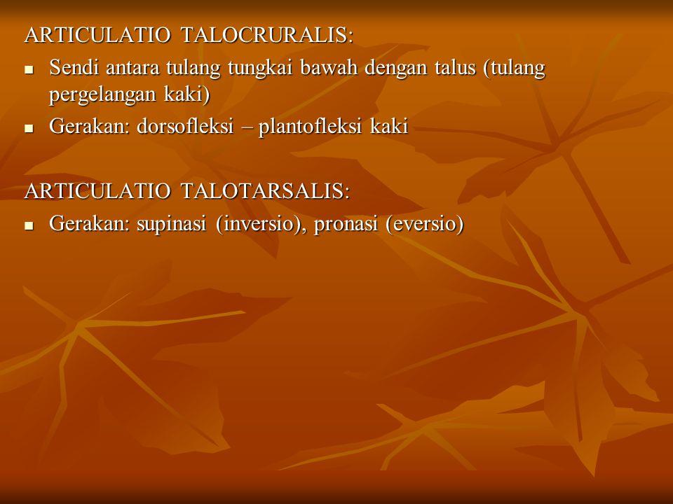 ARTICULATIO TALOCRURALIS: Sendi antara tulang tungkai bawah dengan talus (tulang pergelangan kaki) Sendi antara tulang tungkai bawah dengan talus (tul
