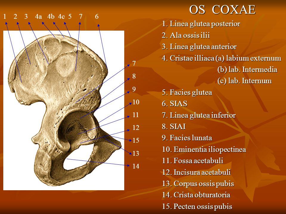 OS COXAE 1. Linea glutea posterior 2. Ala ossis ilii 3. Linea glutea anterior 4. Cristae illiaca (a) labium externum (b) lab. Intermedia (b) lab. Inte