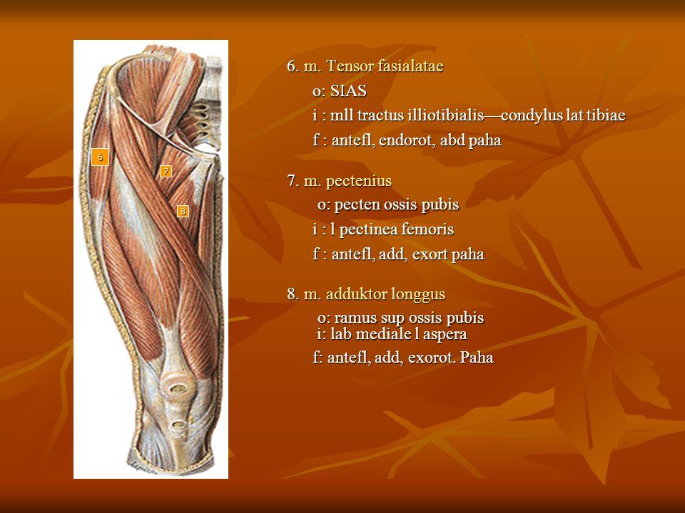 6. m. Tensor fasialatae o: SIAS o: SIAS i : mll tractus illiotibialis—condylus lat tibiae i : mll tractus illiotibialis—condylus lat tibiae f : antefl