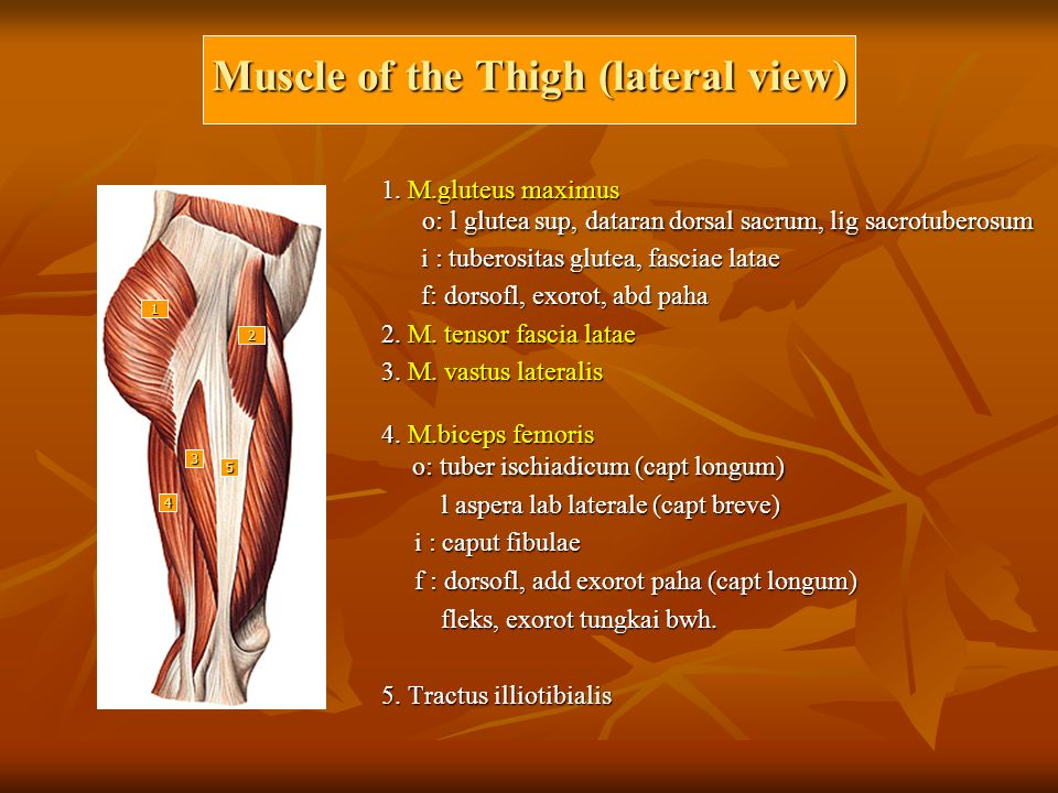 Muscle of the Thigh (lateral view) 1.