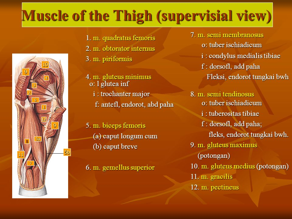 Muscle of the Thigh (supervisial view) 6 2 3 4 5a 7 1 8 10 9 9 11 5b 12 1.