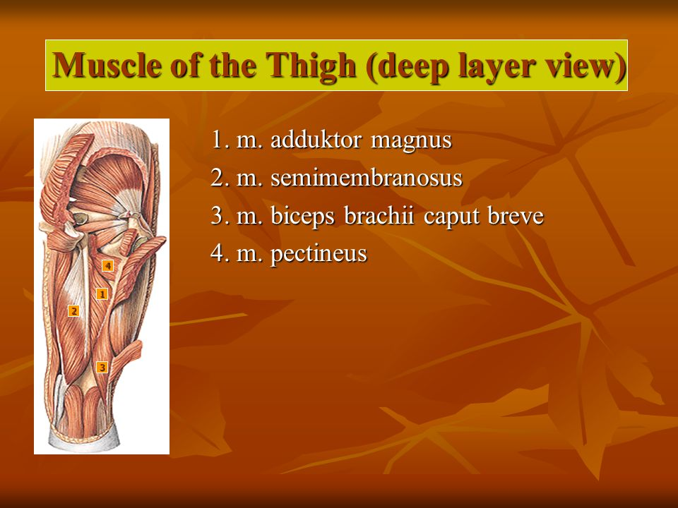 Muscle of the Thigh (deep layer view) 1.m. adduktor magnus 2.
