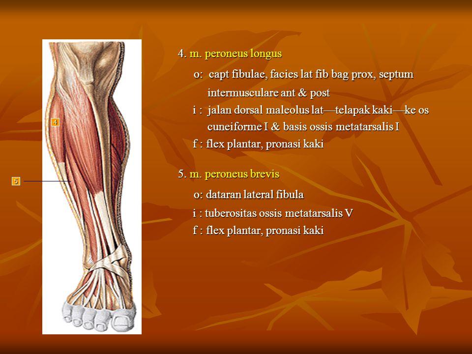 4. m. peroneus longus o: capt fibulae, facies lat fib bag prox, septum o: capt fibulae, facies lat fib bag prox, septum intermusculare ant & post inte