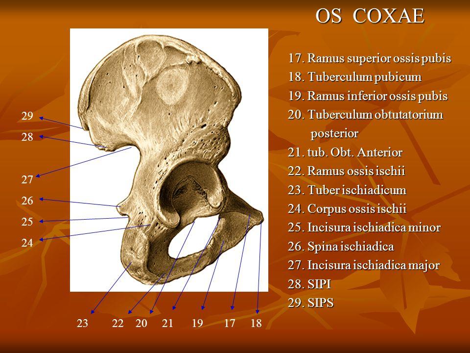 OS COXAE 17. Ramus superior ossis pubis 18. Tuberculum pubicum 19. Ramus inferior ossis pubis 20. Tuberculum obtutatorium posterior posterior 21. tub.