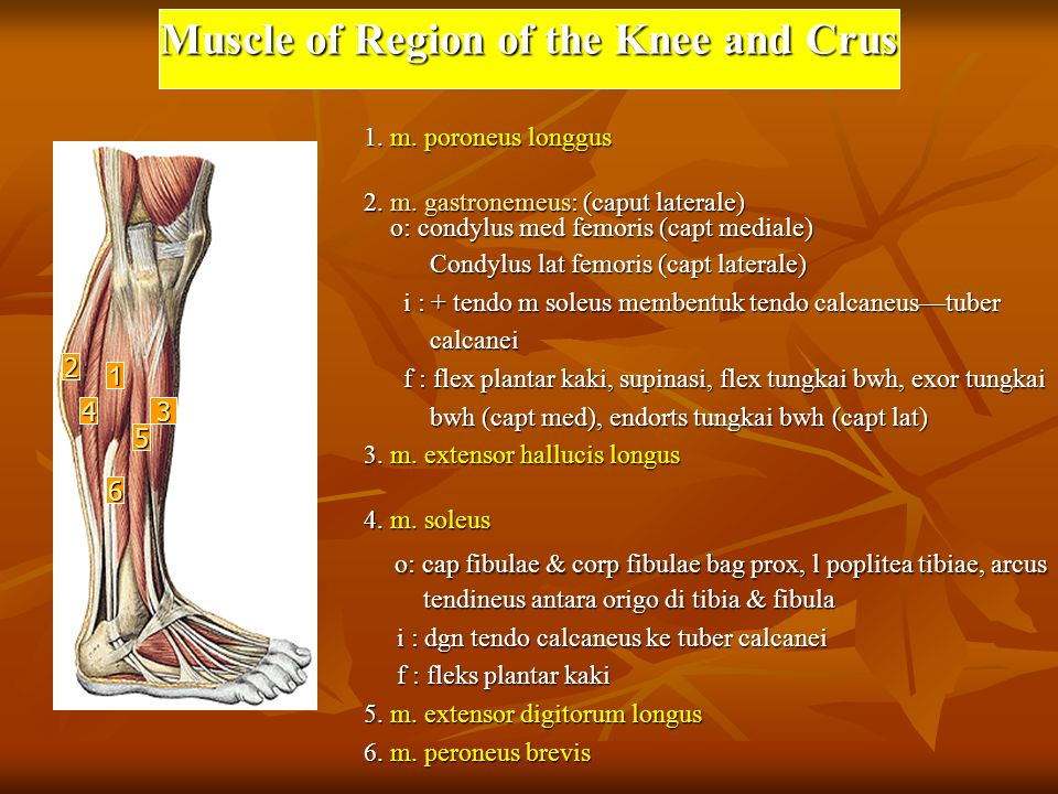 Muscle of Region of the Knee and Crus 1.m. poroneus longgus 2.