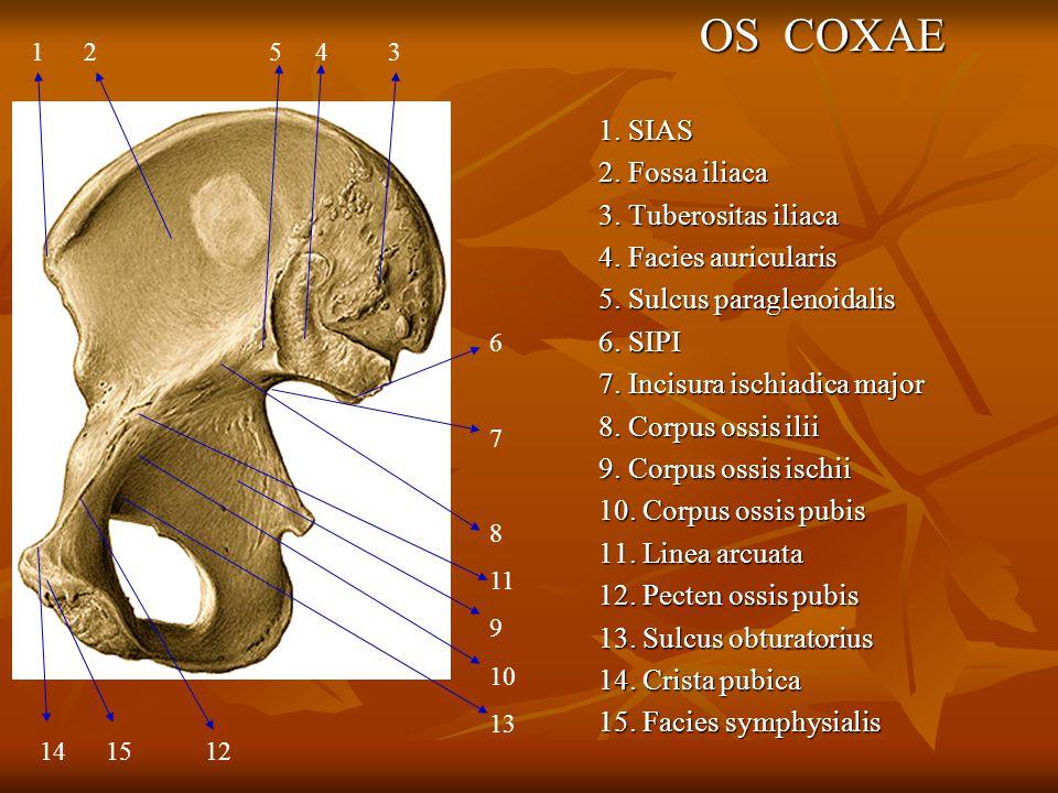 OS COXAE 1. SIAS 2. Fossa iliaca 3. Tuberositas iliaca 4. Facies auricularis 5. Sulcus paraglenoidalis 6. SIPI 7. Incisura ischiadica major 8. Corpus
