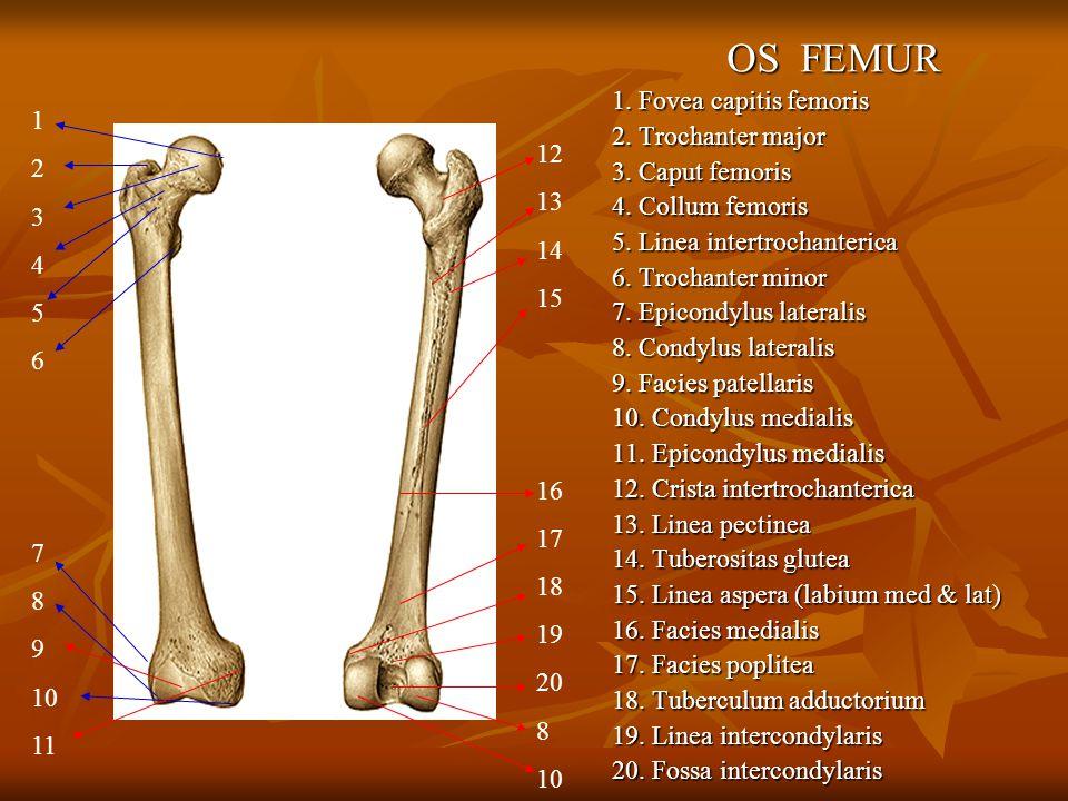 OS FEMUR 1. Fovea capitis femoris 2. Trochanter major 3. Caput femoris 4. Collum femoris 5. Linea intertrochanterica 6. Trochanter minor 7. Epicondylu