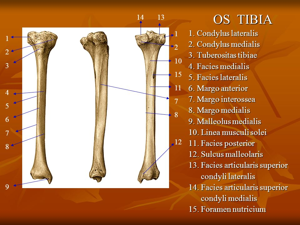Muscle of the Thigh and Hip 1.M.
