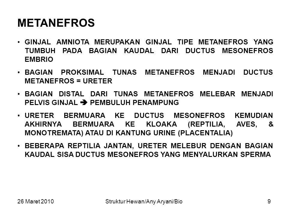 26 Maret 2010Struktur Hewan/Any Aryani/Bio9 METANEFROS GINJAL AMNIOTA MERUPAKAN GINJAL TIPE METANEFROS YANG TUMBUH PADA BAGIAN KAUDAL DARI DUCTUS MESONEFROS EMBRIO BAGIAN PROKSIMAL TUNAS METANEFROS MENJADI DUCTUS METANEFROS = URETER BAGIAN DISTAL DARI TUNAS METANEFROS MELEBAR MENJADI PELVIS GINJAL  PEMBULUH PENAMPUNG URETER BERMUARA KE DUCTUS MESONEFROS KEMUDIAN AKHIRNYA BERMUARA KE KLOAKA (REPTILIA, AVES, & MONOTREMATA) ATAU DI KANTUNG URINE (PLACENTALIA) BEBERAPA REPTILIA JANTAN, URETER MELEBUR DENGAN BAGIAN KAUDAL SISA DUCTUS MESONEFROS YANG MENYALURKAN SPERMA
