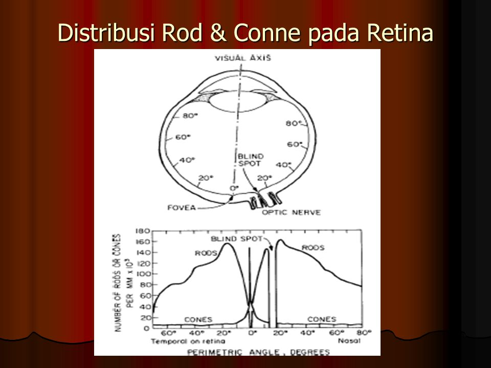 Distribusi Rod & Conne pada Retina