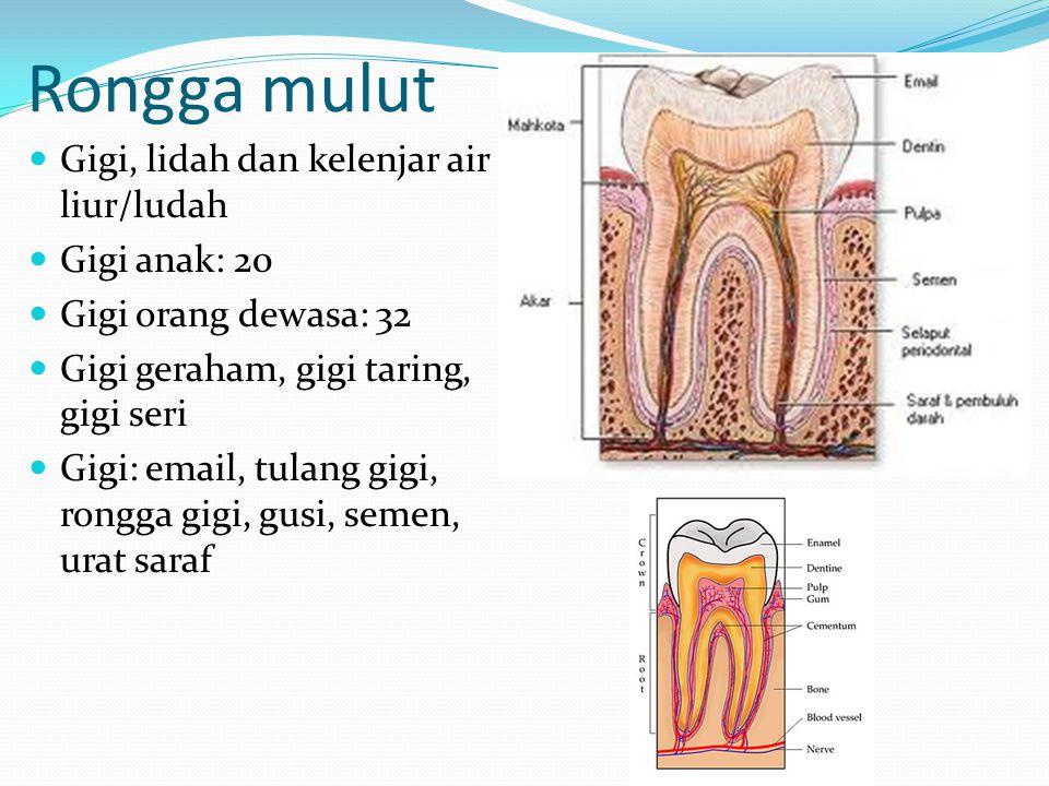 Rongga mulut Gigi, lidah dan kelenjar air liur/ludah Gigi anak: 20 Gigi orang dewasa: 32 Gigi geraham, gigi taring, gigi seri Gigi: email, tulang gigi