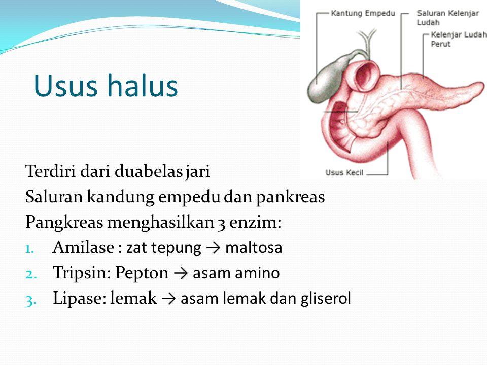 Usus halus Terdiri dari duabelas jari Saluran kandung empedu dan pankreas Pangkreas menghasilkan 3 enzim: 1. Amilase : zat tepung → maltosa 2. Tripsin