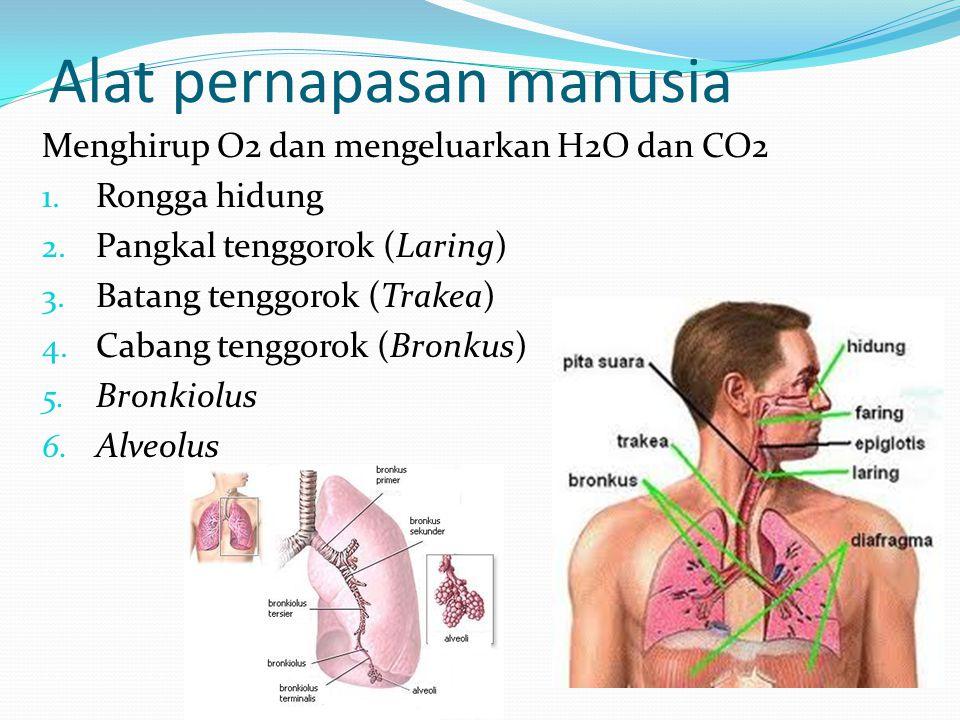 Alat pernapasan manusia Menghirup O2 dan mengeluarkan H2O dan CO2 1. Rongga hidung 2. Pangkal tenggorok (Laring) 3. Batang tenggorok (Trakea) 4. Caban