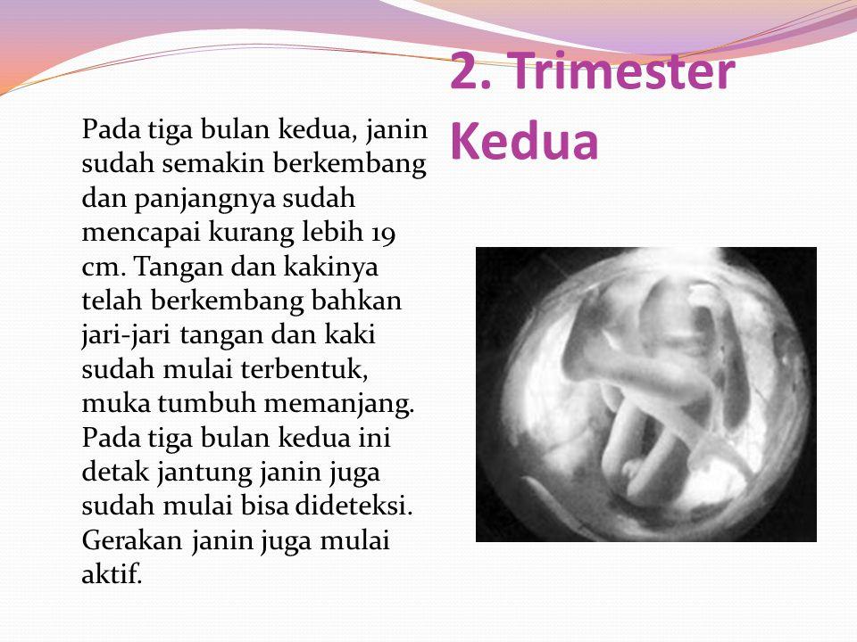 Pada tiga bulan kedua, janin sudah semakin berkembang dan panjangnya sudah mencapai kurang lebih 19 cm. Tangan dan kakinya telah berkembang bahkan jar