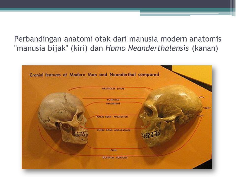 Perbandingan anatomi otak dari manusia modern anatomis manusia bijak (kiri) dan Homo Neanderthalensis (kanan)