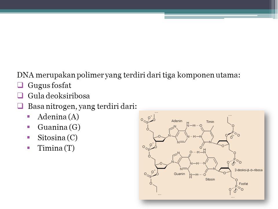 DNA merupakan polimer yang terdiri dari tiga komponen utama:  Gugus fosfat  Gula deoksiribosa  Basa nitrogen, yang terdiri dari:  Adenina (A)  Guanina (G)  Sitosina (C)  Timina (T)