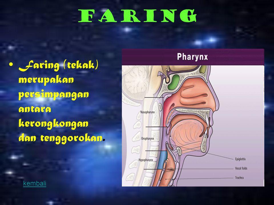 Laring  Laring adalah pangkal tenggorokan.di dalamnya terdapat pita suara dan beberapa otot yang mengatur ketegangan pita suara sehingga timbul bunyi,berfungsi untuk menyalurkan udara dari faring ke trakea.