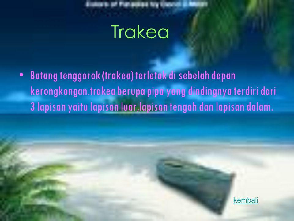Trakea Batang tenggorok (trakea) terletak di sebelah depan kerongkongan.trakea berupa pipa yang dindingnya terdiri dari 3 lapisan yaitu lapisan luar,l