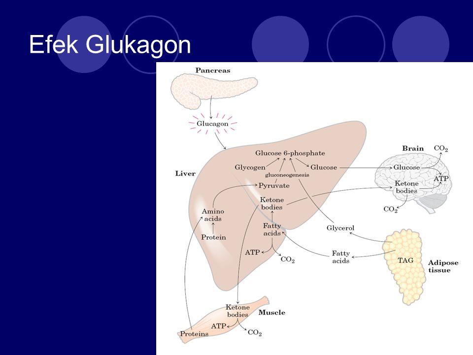Efek Glukagon