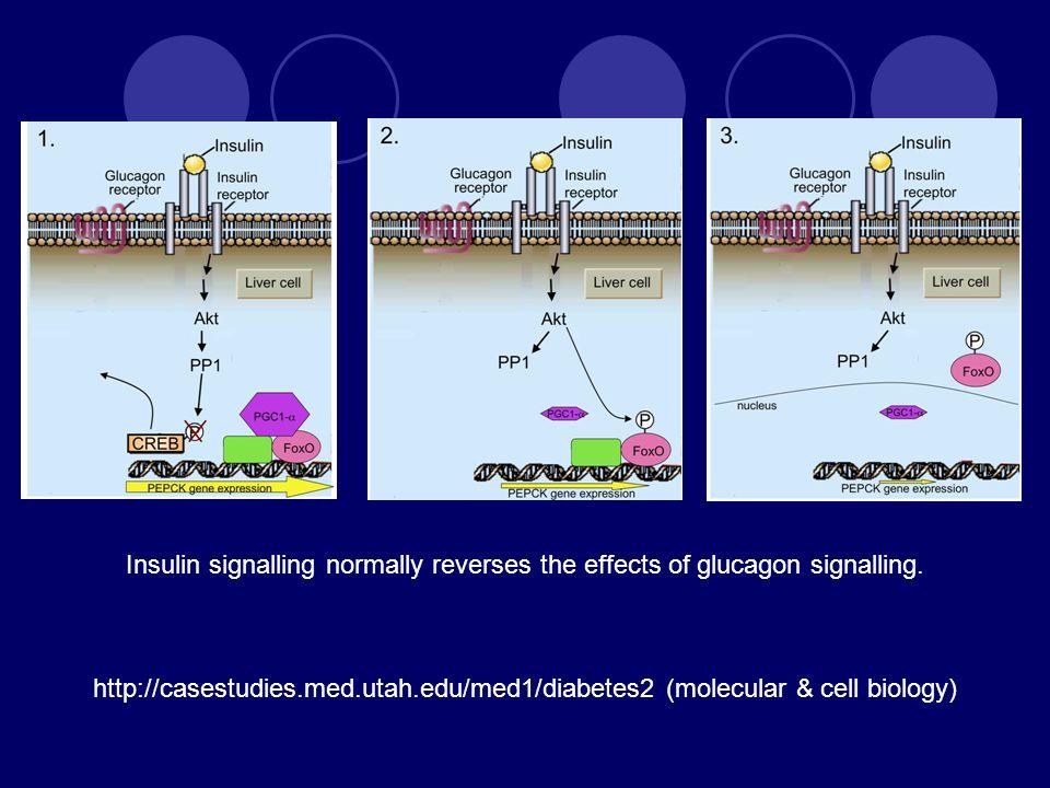 Insulin signalling normally reverses the effects of glucagon signalling. http://casestudies.med.utah.edu/med1/diabetes2 (molecular & cell biology)