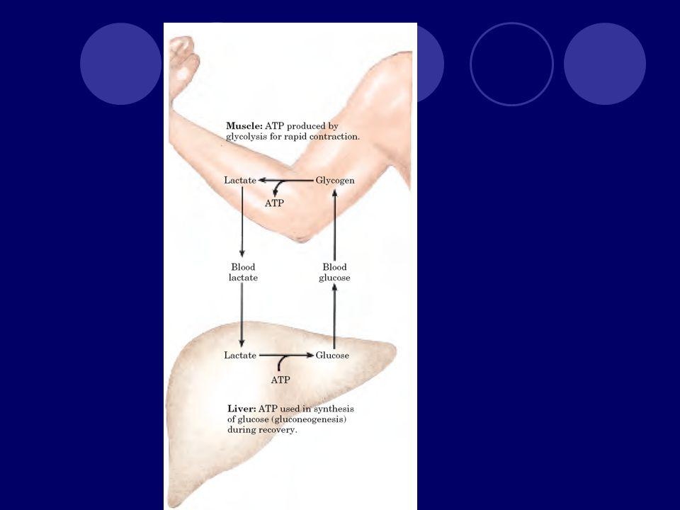Jantung Seperti otot tetapi kerjanya relatif konstan Aerobik Banyak mitokondria Tidak ada simpanan energi sehingga suplai glukosa dan oksigen dari darah harus kontinyu